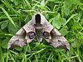Smerinthus ocellata (2938968827).jpg