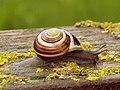 Snail - geograph.org.uk - 523009.jpg