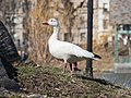 Snow goose in Central Park (33087).jpg