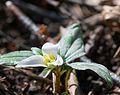 Snow trillium (Trillium nivale) (25754186564).jpg