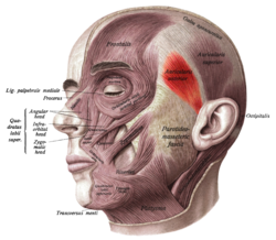 Face and neck muscles. Anterior auricular muscle shown in red.