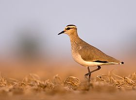 Sociable Lapwing, Little Rann of Kutch, India
