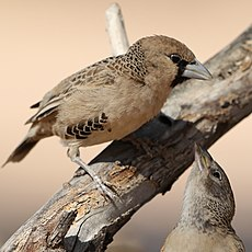 Sociable weaver, Philetairus socius, at Kgalagadi Transfrontier Park, Northern Cape, South Africa (45236728025).jpg