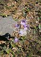 Soldanella alpina 001.jpg
