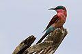 Southern carmine bee-eater, Merops nubicoides, Savuti marsh, Chobe National Park, Botswana (32421991706).jpg