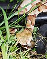 Southern copperhead02.jpg
