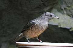 Spangled cotinga - female.jpg