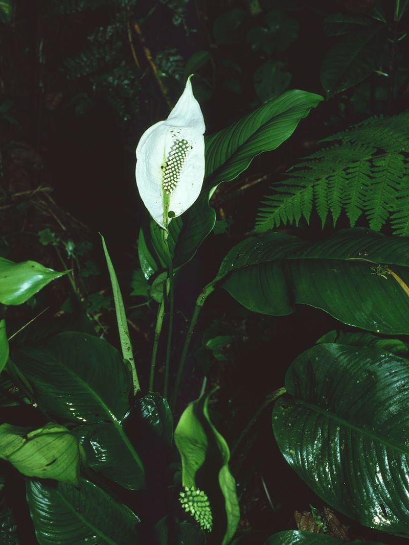 Peace Lily. Credit: Wikimedia Commons