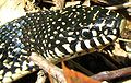 Speckled Kingsnake-head.jpg