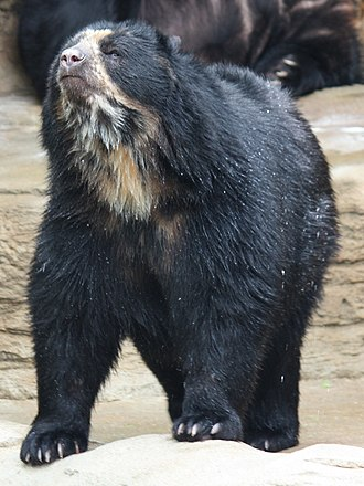 Baritú National Park - Image: Spectacled Bear 059