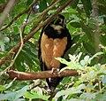 Spectacled Owl. Pulsatrix perspicilliata - Flickr - gailhampshire (1).jpg