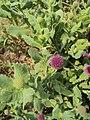 Sphaeranthus indicus 23.JPG