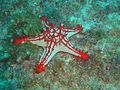 Spiky starfish at Hard Rock dsc04023.jpg