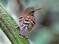 Spotted Antbird RWD.jpg