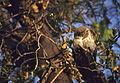 Spotted Owlet (Athene brama) (20820103726).jpg