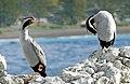 Spotted Shag. NZ (Phalacrocorax punctatus). (29350774683).jpg