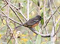 Spotted Towhee (Pacific), Grays Harbor NWR, WA, 18 October 2012 (8115018776).jpg