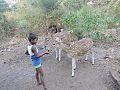 Spotted dears , Sanjay Gandhi National Park , Mumbai 02.jpg