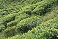 Sri Lanka, Tea plantations near Nuwara Eliya.jpg