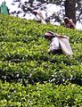 Sri Lanka, tea plantation.JPG