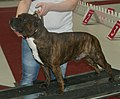 Staffi-redbrindle1.jpg