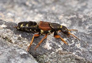 Rove beetle (Staphylinus caesareus) at Hohenne...
