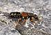 Staphylinus caesareus qtl1.jpg