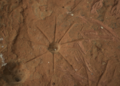 Star shaped petroglyph Lorito Picada rock art from Amambay, Paraguay.png