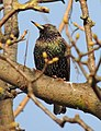 Starling in a tree, Sandy, Bedfordshire (8485900663).jpg