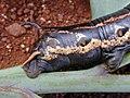 Starr-020124-0041-Nicotiana glauca-Agrius cingulata larva black morph-Kahului-Maui (24250712680).jpg