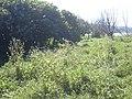 Starr-050222-0071-Sonchus oleraceus-habit-Mokuauia-Oahu (24109467794).jpg