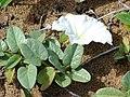 Starr-060928-0387-Ipomoea imperati-habit and flower-Keopuolani Park-Maui (24570941270).jpg