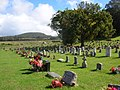 Starr-070103-9642-Cinnamomum camphora-habit-St Joseph Church Cemetery Makawao-Maui (24852041366).jpg