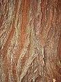 Starr-090521-8373-Sequoia sempervirens-bark-Polipoli-Maui (24930115076).jpg