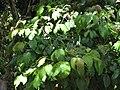 Starr-090617-0871-Sandoricum koetjape-leaves-Ulumalu Haiku-Maui (24334317164).jpg