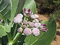 Starr-090813-4270-Calotropis procera-flowers-Kanaha Beach-Maui (24972166465).jpg