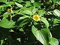 Starr-091104-0748-Lipochaeta succulenta-flower and leaves-Kahanu Gardens NTBG Kaeleku Hana-Maui (24360665513).jpg