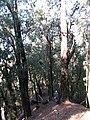 Starr-091115-1124-Eucalyptus sideroxylon-habit with Forest on ridge-Olinda-Maui (24871927152).jpg