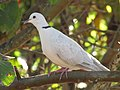 Starr-100113-1212-Psidium guajava-branches with ringneck dove-Waihee-Maui (24711196870).jpg