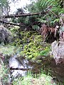 Starr-100412-4490-Holcus lanatus-habit and stream-Waikamoi-Maui (24733141190).jpg