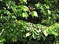 Starr-110330-3832-Averrhoa carambola-leaves-Garden of Eden Keanae-Maui (24713135229).jpg