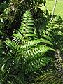 Starr-110330-3860-Diplazium esculentum-frond-Garden of Eden Keanae-Maui (24962693632).jpg