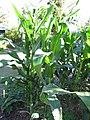 Starr-110731-8142-Zea mays-habit cv JB White habit-Hawea Pl Olinda-Maui (24475442093).jpg