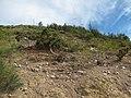 Starr-110929-8591-Casuarina glauca-invading relic shrubland-Hanaula-Maui (25115203505).jpg