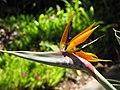 Starr-120522-6252-Strelitzia reginae-flower-Iao Tropical Gardens of Maui-Maui (24775694029).jpg