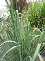 Starr-120608-7257-Panicum virgatum-cv Switch Alamo habit-Ulupalakua Ranch-Maui (24777437239).jpg