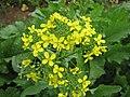 Starr-120608-7318-Brassica rapa-broccoli rabe flowers-Ulupalakua Ranch-Maui (24777612899).jpg