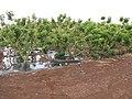 Starr-120620-7523-Jatropha curcas-Biofuel plantings-Kula Agriculture Park-Maui (24518986823).jpg