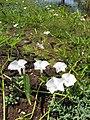 Starr-121029-0422-Ipomoea aquatica-flowering habit-Ukumehame-Maui (25101534841).jpg