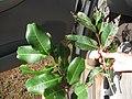 Starr-130318-1772-Cupaniopsis anacardioides-leaves with carrot wood on left and Java plum on right-Kilauea Pt NWR-Kauai (25181289896).jpg